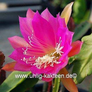 Epiphyllum-Hybr. Gitti Paetz