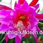 Epiphyllum-Hybr. Jolly Rogers