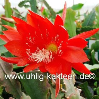 Epiphyllum-Hybr. Juwel
