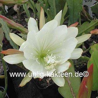 Epiphyllum-Hybr. Katydid