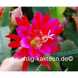 Epiphyllum-Hybr. `Klaus Paetz`