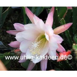 Aporophyllum-Hybr. Loni Paetz