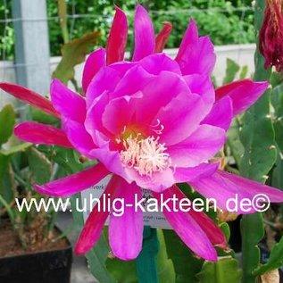 Epiphyllum-Hybr. `Maienduft` PE 119