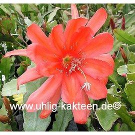 Epiphyllum-Hybr. Maienfreude