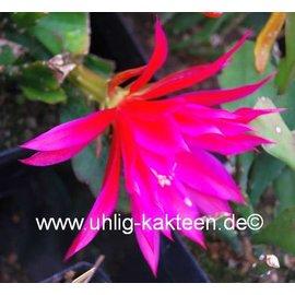 Epiphyllum-Hybr. Marianne Paetz