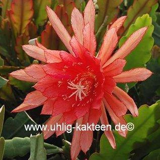 Epiphyllum-Hybr. `Royal Heir`