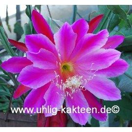 Epiphyllum-Hybr. Barco de la demostración