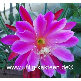 Epiphyllum-Hybr. Show boat