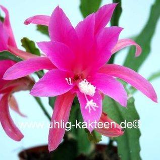 Epiphyllum-Hybr. Stephanie Paetz