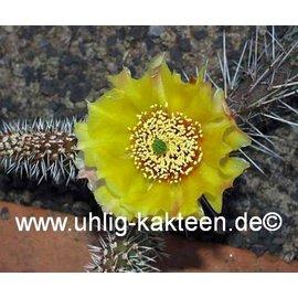 Opuntia hystricina  cv. Franz Schenk     (dw)