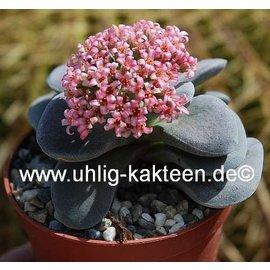 Crassula-Hybr. Morgans Beauty   auch als Morgans Pink bekannt,