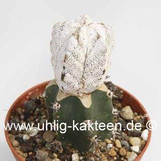 Astrophytum myriostigma cv. Super Onzuka   gepfr.