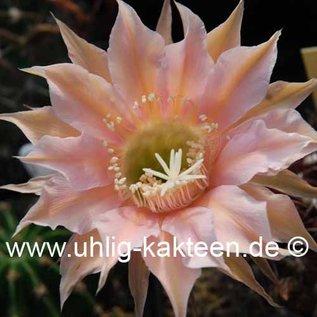 Echinopsis-Hybr. Mystic Moon