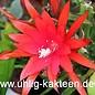 Aporophyllum-Hybr. Ellen Paetz