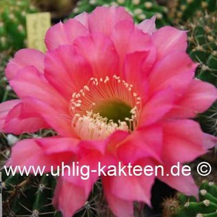 Echinopsis-Hybr. `Machu Pichu x Santa`