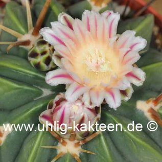 Ferofossulocactus cv. Leibnitz F2