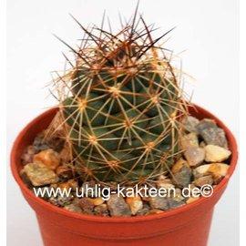 Coryphantha gladiispina SB 711  Paila, Coahuila, Mexico