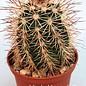 Echinocereus X roetteri  AG 12 P13 Jarilla, Mts