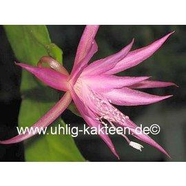 Epiphyllum-Hybr. Eric Paetz