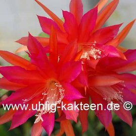 Epiphyllum-Hybr. Jenny Paetz