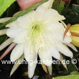 Epiphyllum-Hybr. Jürgen Paetz
