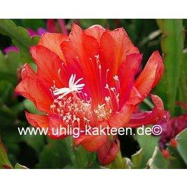 Epiphyllum-Hybr. `Tel Star`