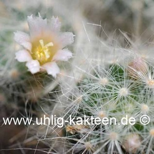 Mammillaria glassii  ML 461 road to Dulces Nombres, above Santa Engarcia, Tamaulipense, Mex., 1500-1800 m