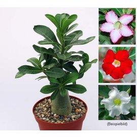 Aktion: Wüstenrosen - Adenium 3 versch. Pflanzen