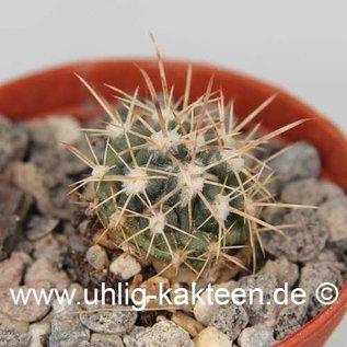 Ferocactus fordii  v. borealis      (Samen)