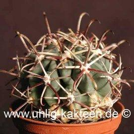 Glandulicactus mathsonii        (Graines)
