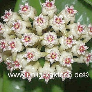 Hoya parasitica  India