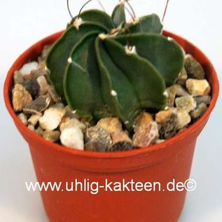 Astrophytum capricorne  v. niveum `Cinegas` vermutlich Quatro Cienegas