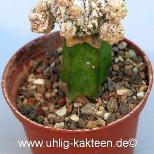 Astrophytum myriostigma  Fukuryu `Dinosaur`  gepfr.