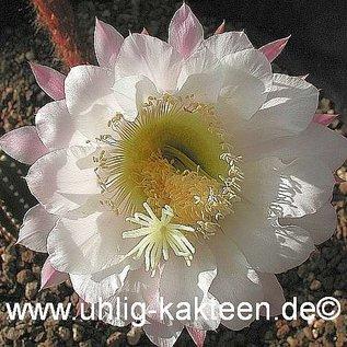 Echinopsis-Hybr. Gräser   Blüte groß weiß, außen rosa / white-rose