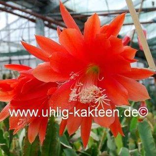 Epiphyllum-Hybr. Gloriosum