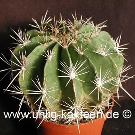Ferocactus flavovirens        (Seeds)