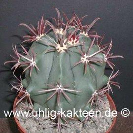Ferocactus peninsulae  Tres Virgenes Baja California     (Samen)