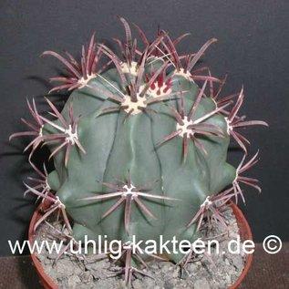 Ferocactus peninsulae   Volcano, Tres Virgenes, Baja California, Mx.     (Samen)