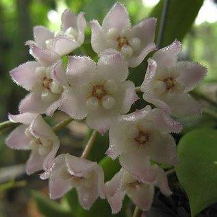 Hoya thomsonii Spotted Leaves