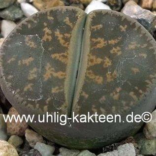 Lithops lesliei ssp. lesliei v. lesliei C 010