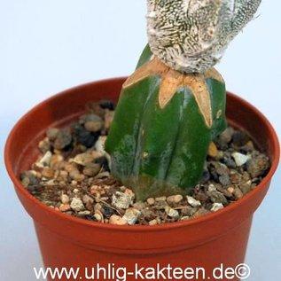 Astrophytum myriostigma cv. Onzuka Hakuun   gepfr.
