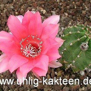 Echinopsis-Hybr. Butterfly  Rheingold 249