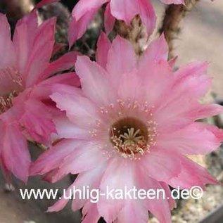 Echinopsis-Hybr. Unschuld vom Lande 2 Uebelmann 3217 ?