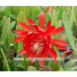 Epiphyllum-Hybr. Flamgo