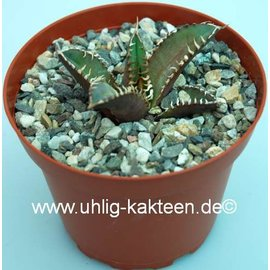 Agave titanota   cv. Red Catweezle