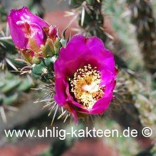 Cylindropuntia imbricata  (dw) (Seeds)