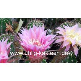 Echinopsis-Hybr. Shirley  Schick Hybride
