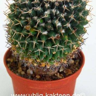 Mammillaria galeotti
