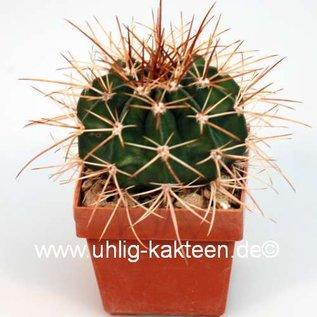 Melocactus paucispinus