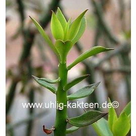 Pereskiopsis spathulata cutting